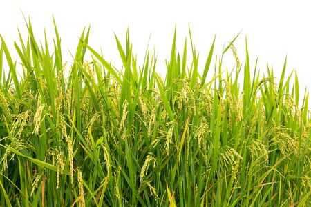 Green rice field photo