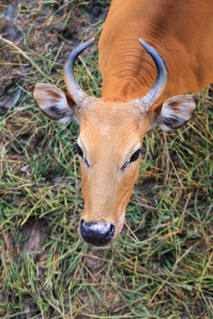 livestock sector: red cow looks into camera