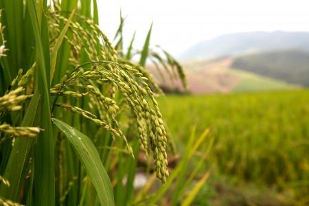 green rice paddy field