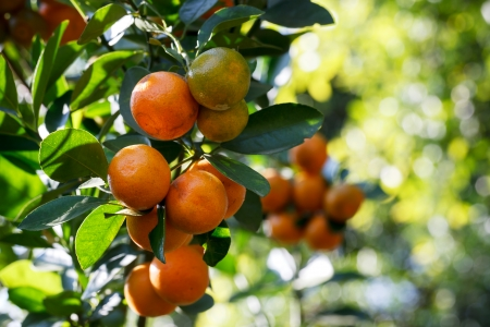 fresh orange on plant, orange tree photo