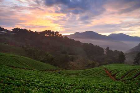 misty morning sunrise in strawberry garden at doi angkhang mountain, chiangmai   thailand photo