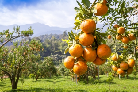 工場、オレンジの木に新鮮なオレンジ