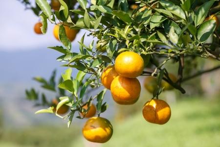 frische Orange auf Pflanze, Orangenbaum Lizenzfreie Bilder