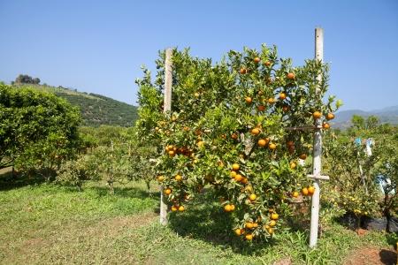 resh orange on plant, orange tree Stock Photo - 25276887