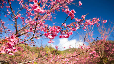 Branch with pink sakura blossoms  Natural background photo