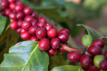 bush bean: Coffee beans ripening on tree in North of thailand Stock Photo