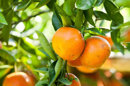 orange frais sur la plante, arbre orange photo