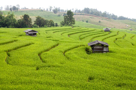 green rice paddy field photo