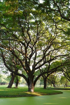 samanea saman: Samanea saman, Big rain tree