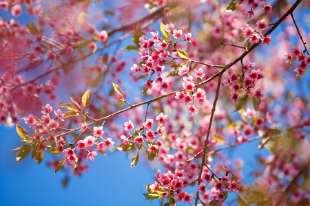 Branch with pink sakura blossoms photo