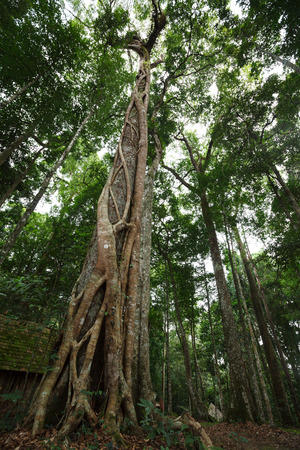 impermeable: Big tree in forest ,View from the bottom up