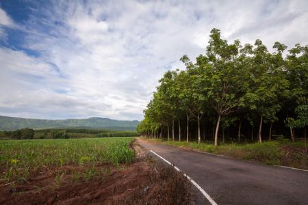 Gummibäume und Maisfeld mit Wolkenhimmel Lizenzfreie Bilder