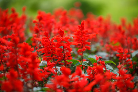 asterids: Red Salvia  Salvia splendens