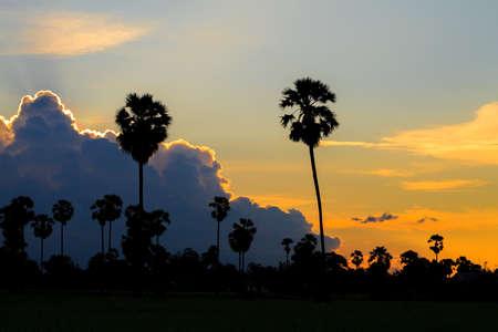 Sugar palm during sunset  photo