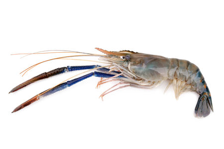 rosenbergii: Giant freshwater prawn, Fresh shrimp isolate on white background