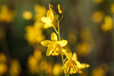 botanica: Wild orchids in nature, Spathoglottis lobbii Lindl flower