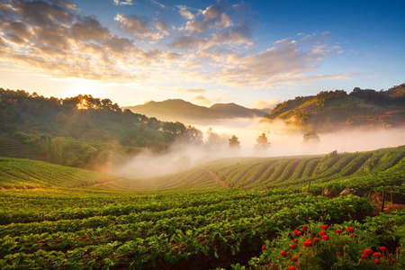 misty morning sunrise in strawberry garden at doi angkhang mountain, chiangmai : thailand Archivio Fotografico