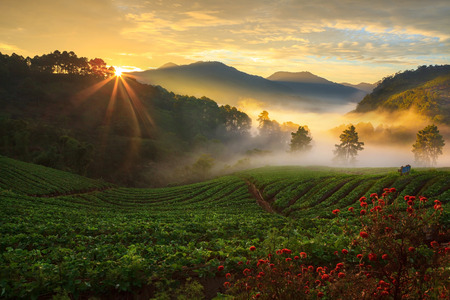 misty morning sunrise in strawberry garden at Doi Ang-khang mountain, chiangmai : thailand