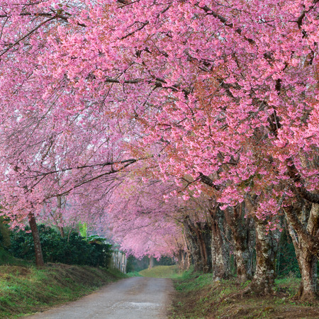 pink sakura blossoms on road in thailand photo