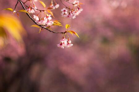 saga: Close up branch with pink sakura blossoms in morning Stock Photo