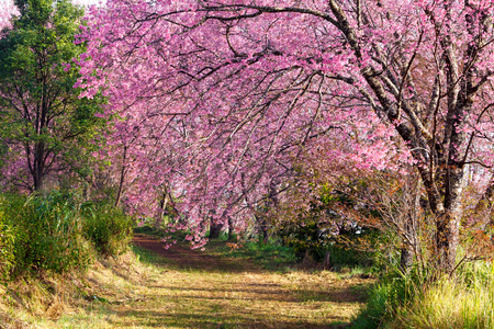 pink sakura blossoms on dirt road in thailand photo