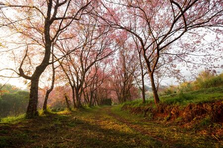 Morning sunrise in pink sakura blossoms on dirt road in chiangmai thailand photo