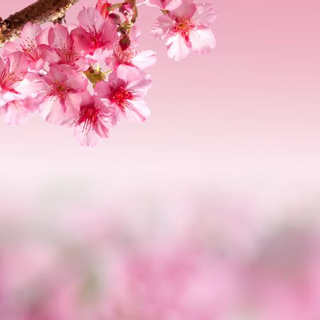 Branch with pink sakura blossoms. photo