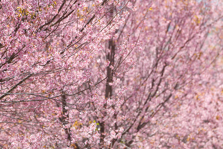 pink sakura blossoms in Pho Lom Lo,thailand photo