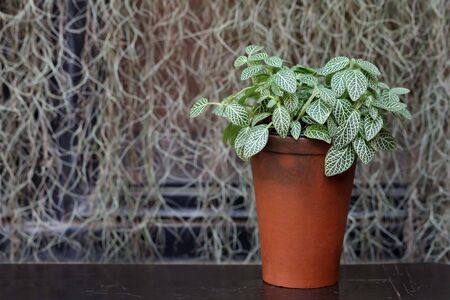 boxwood: plant in a boxwood  pot