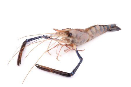 rosenbergii: Fresh shrimp isolate on white