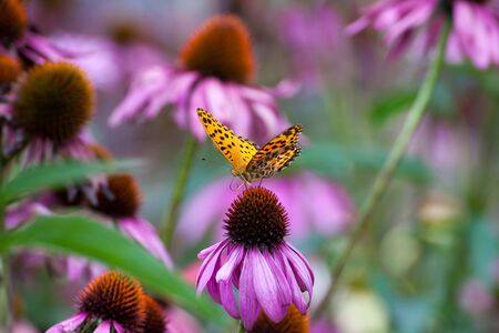 coneflowers: Monarch Butterfly on ConeFlowers