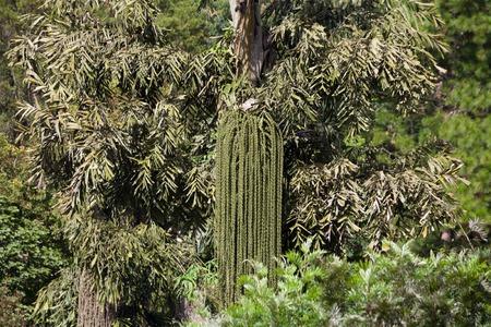 Betelnut Palm
