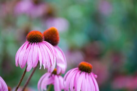 coneflowers: Purple Coneflowers (Echinacea) , close-up, selective focus
