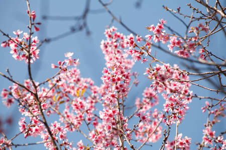 loei: Sakura flowers blooming blossom in PhuLomLo Loei Province , Thailand