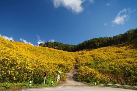 tong: The road to the field of Mexican Sunflower Weed on the mountain,Mae Hong Son Province,Thailand.