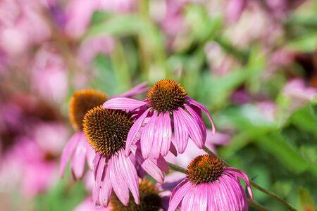 coneflowers: Purple Coneflowers (Echinacea) , close-up, selective focus