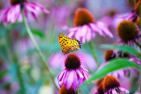 Papillon monarque sur Coneflowers Banque d'images - 45629517