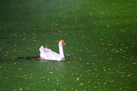 domestic: Domestic goose on pond