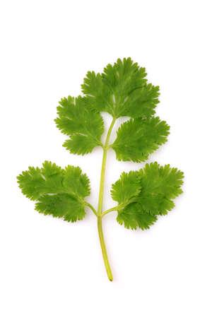 cilantro: Planta de hierba de cilantro