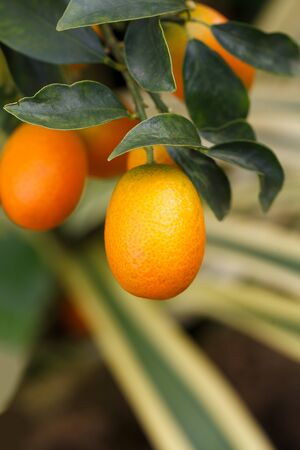 cumquat: orange kumquat fruit on the tree Stock Photo