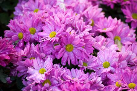 nuance: Beautiful of Chrysanthemum pink flowers in garden Stock Photo
