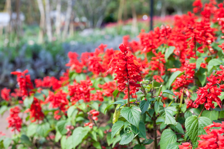 asterids: Close-up Red Salvia (Salvia splendens)