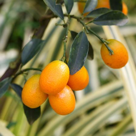 fortunate: Orange kumquat on the tree