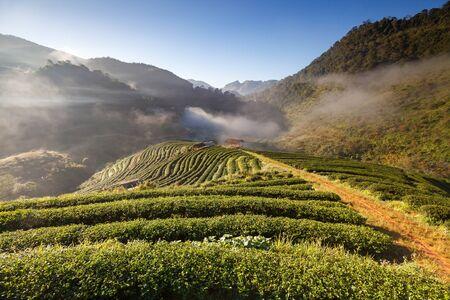 viewfinderchallenge3: Tea plantation in the Doi Ang Khang, Chiang Mai, Thailand
