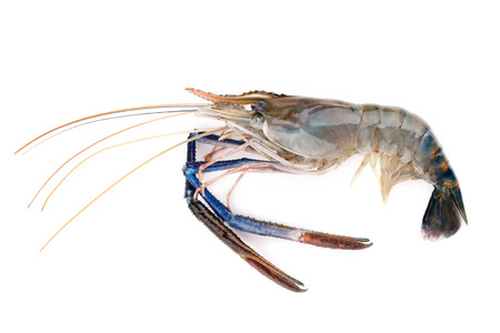 rosenbergii: Fresh shrimp,Giant freshwater prawn on white Stock Photo
