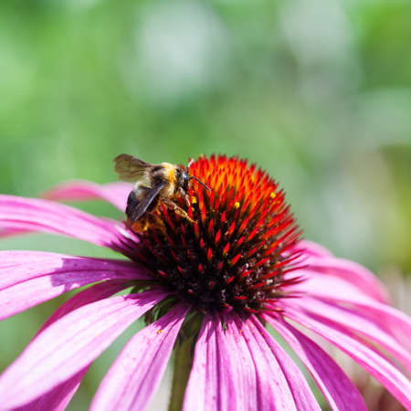 nectar: honey bee collects flower nectar