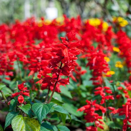 florae: Close-up Red Salvia (Salvia splendens)