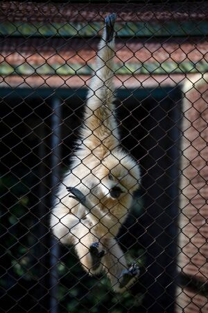 incarcerate: unhappy expression gibbon in cage