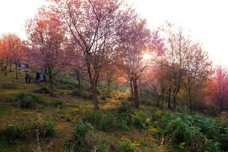 preens: Morning sunrise branch with pink sakura blossoms in Phu Lom Lo,Loei Thailand Stock Photo