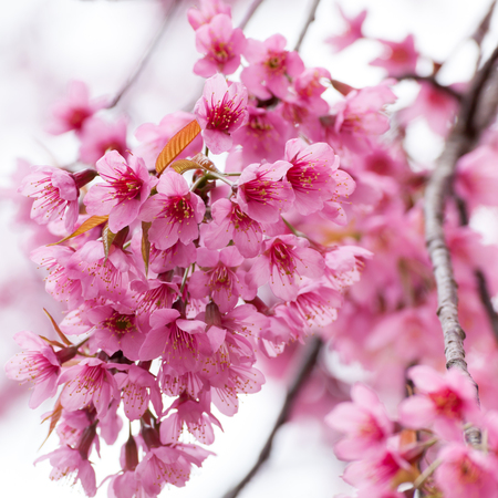 chiang mai: Close-up,beautiful cherry blossom, Chiang Mai, Thailand